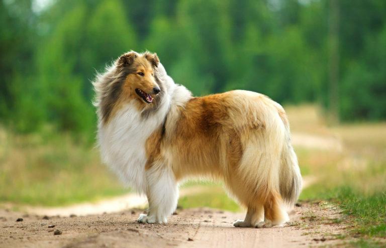skót juhász, hosszúszőrű skót juhászkutya