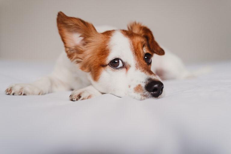 koronavírus kutyáknál