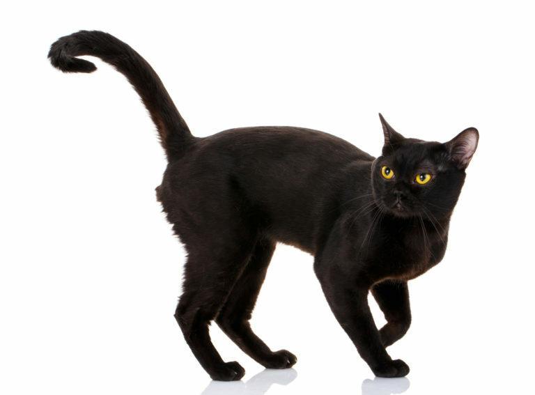 Bombay macska