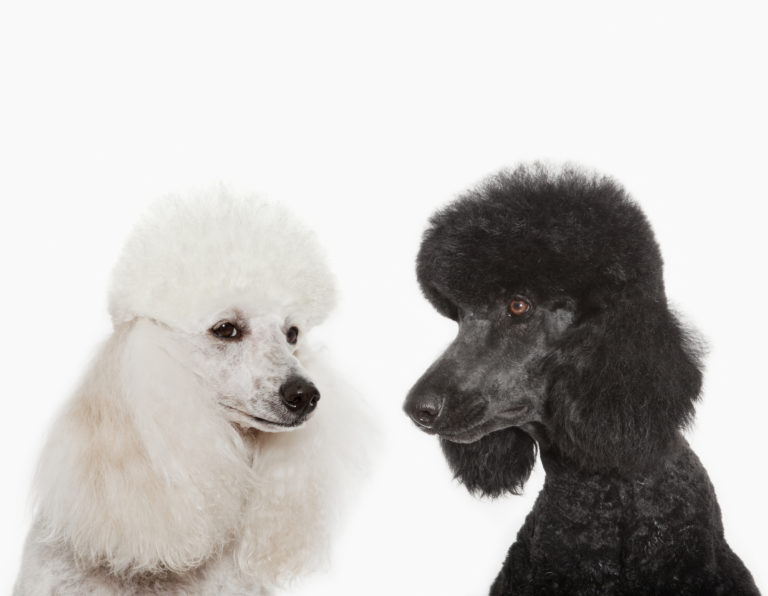 pudli kutya