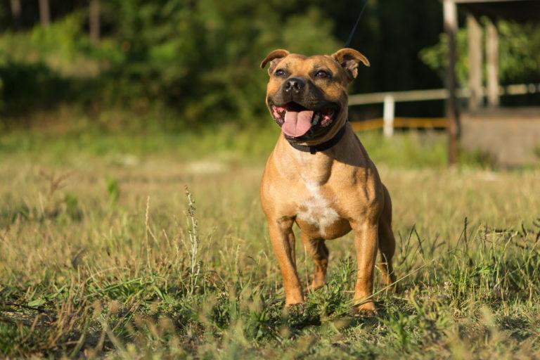 angol staffordshire bullterrier, angol staffordshire terrier, angol terrier