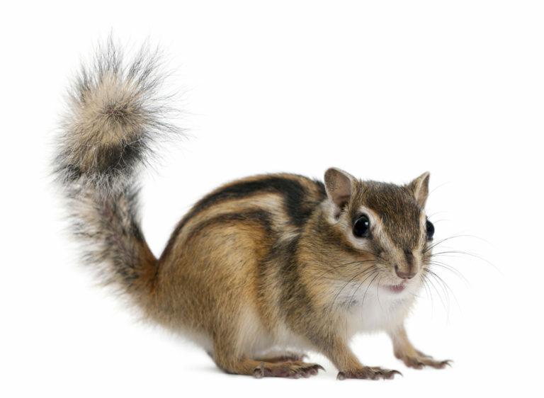 szibériai csíkosmókus, mókus