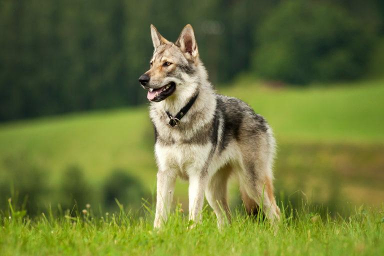csehszlovák farkaskutya, cseh farkas, csehszlovák farkas