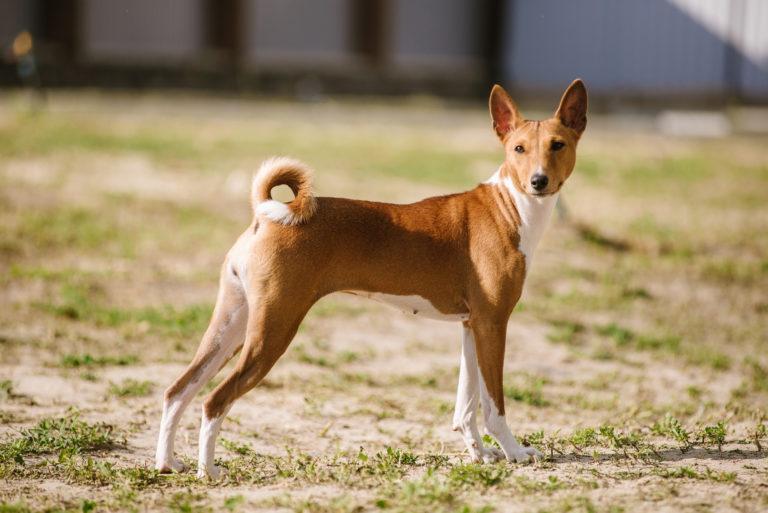 basenji kutya