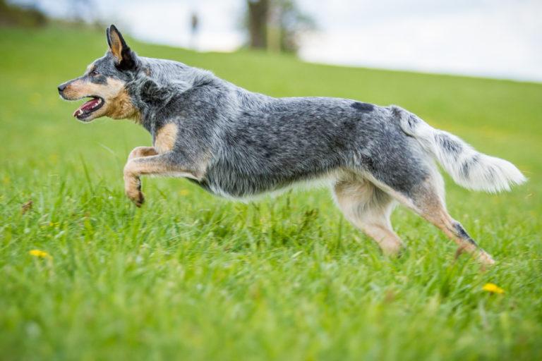 ausztrál pásztorkutya, australian cattle dog