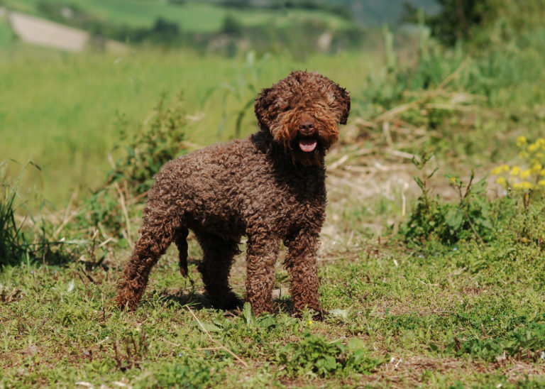lagotto romagnolo kutya, olasz vizikutya, lagotto kutya, szarvasgomba kereső kutya