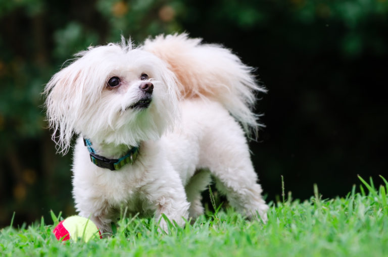 maltipoo kutya