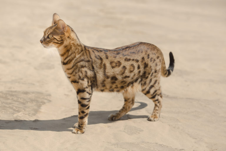 szavanna macska, savannah macska