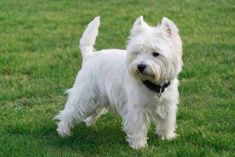 west highland white terrier, westie kutya, veszti kutya