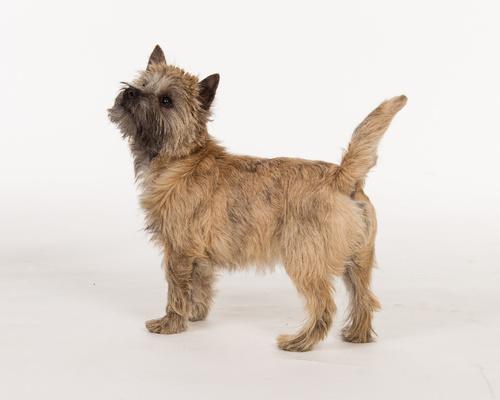 Cairn terrier, kern terrier