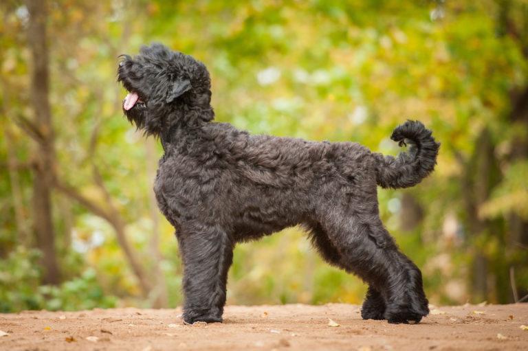 orosz fekete terrier