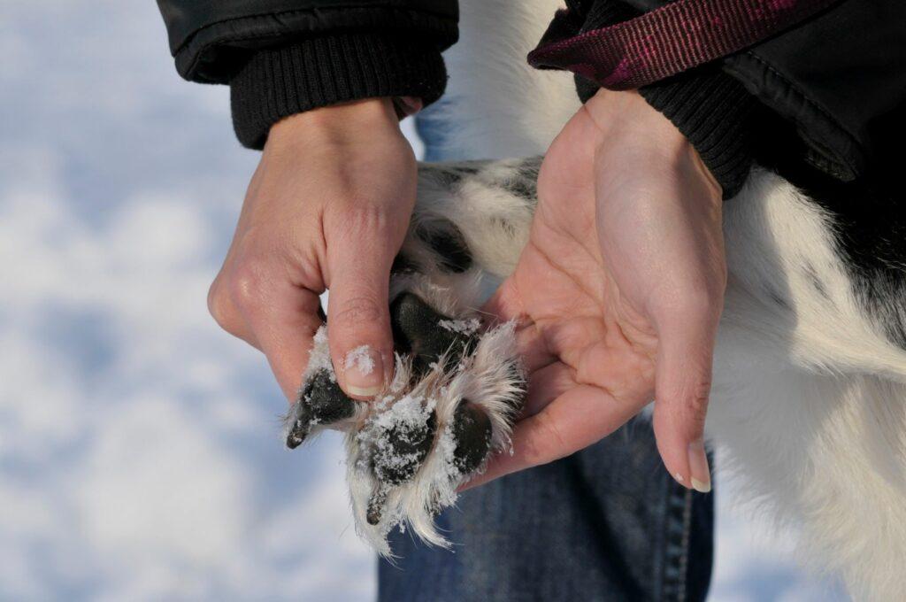 Kutyamancs télen