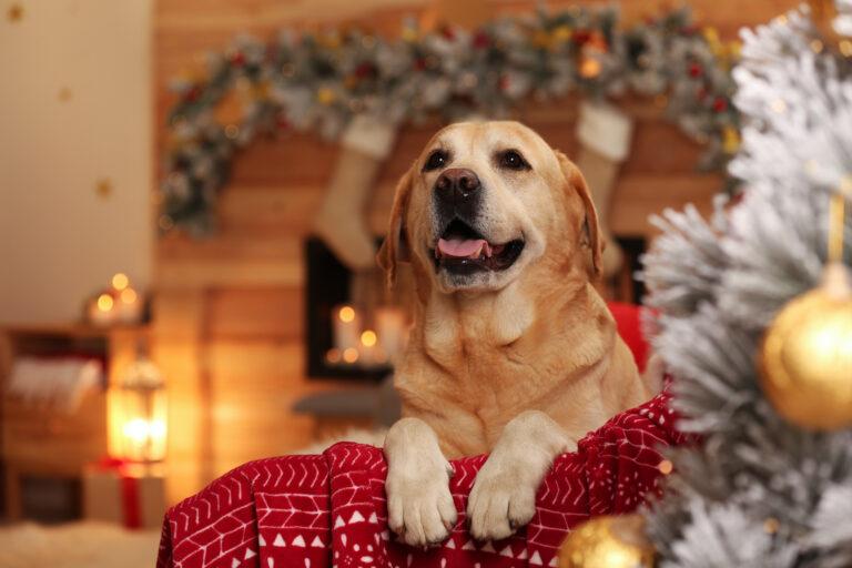 Aranyos labrador karácsonykor