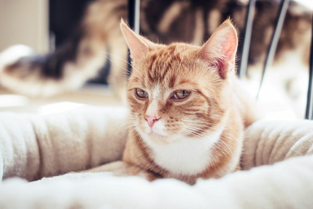 macska a fekhelyében