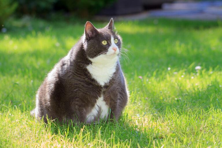 túlsúlyos macska