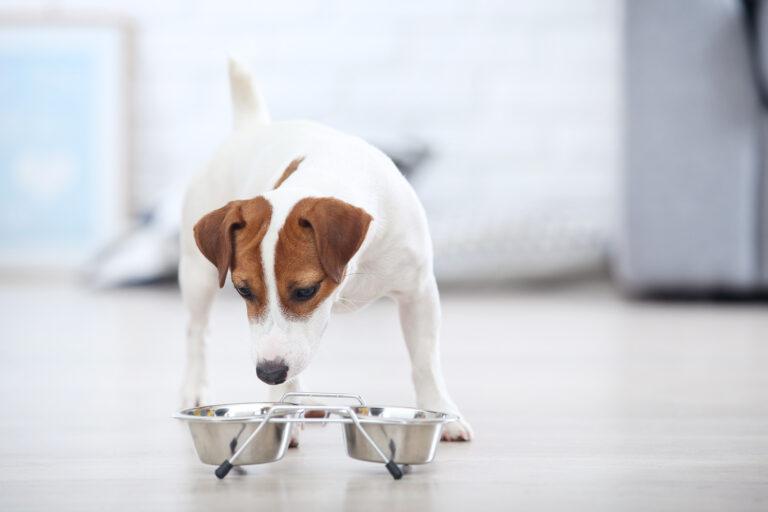 Jack Russell Terrier eszik egy tálból