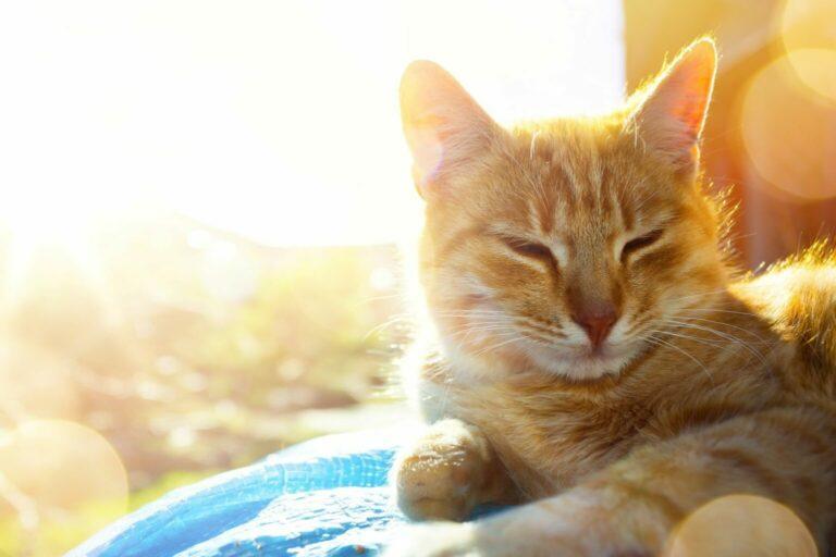 macska hőség