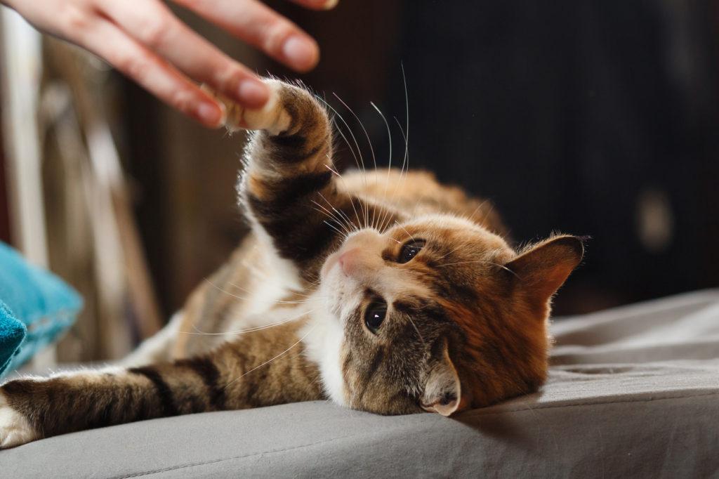 macska pacsi